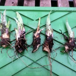 Comfrey crown cuttings