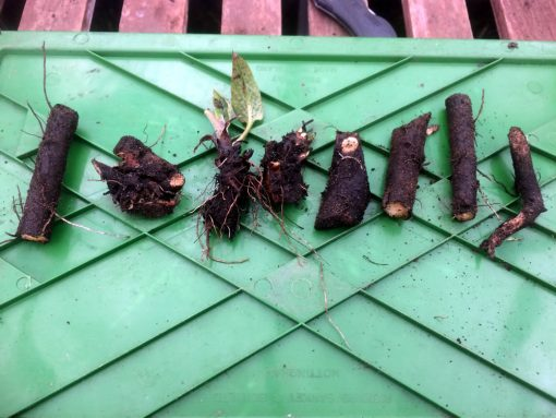 Comfrey root cuttings